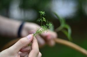 Salsão silvestre (Apium leptophyllum)