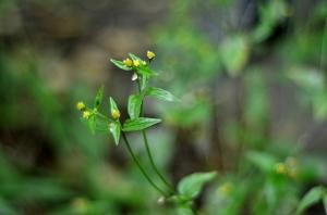 A guasca (Galinsoga parviflora), que depois virou uma deliciosa sopa com batata doce