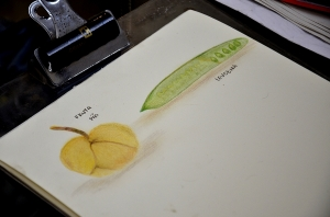 Minha tentativa de pintar algumas espécies